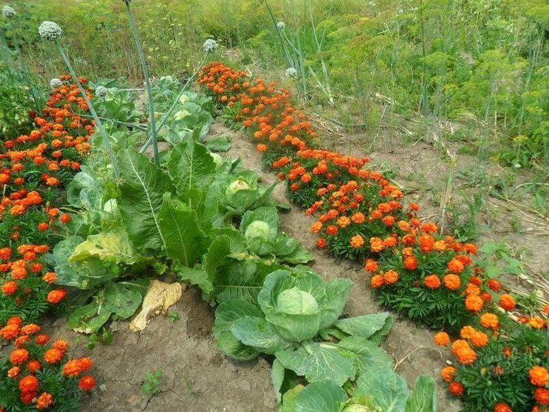 Защита овощных культур